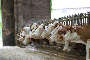 Fleckvieh, wat is dat voor koeienras?