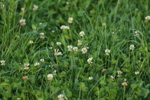 Onkruidbestrijding in grasland en mais